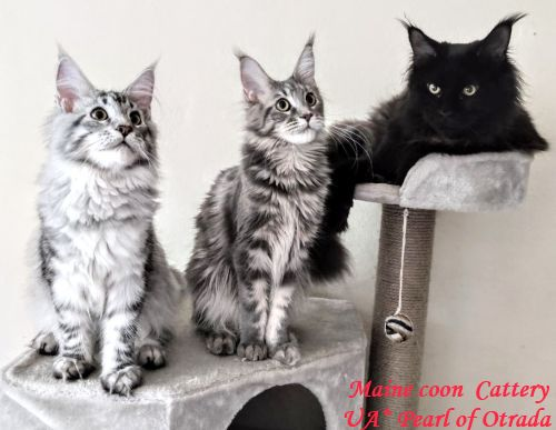"Mainecoon cattery ""UA*Pearl of Otrada"""